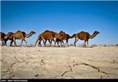 سیستان و بلوچستان| مرگ دهها جنین شتر به علت خشکی تالاب هامون