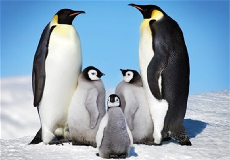 Researchers Say Climate Change Is 'Killing Penguin Chicks'