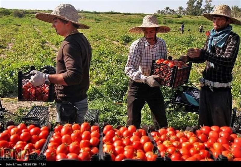 150هزار تن گوجه فرنگی در منطقه آبدان دیر تولید میشود