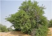 """چرا کاشت درخت """"کهور"""" برای طبیعت و انسان خطرناک است + فیلم"""