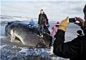 گیر کردن 2 نهنگ در سواحل دانمارک