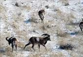 سنندج| 76 گونه با ارزش جانوری استان کردستان در معرض خطر انقراض
