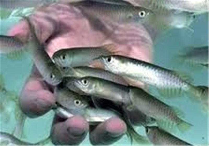 از پرورش ماهی در حوضچه خانگی تا تولید سالانه 700 هزار قطعه کپور