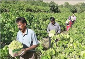 زندانیان پارس آباد در کشت و صنعت مغان فعالیت میکنند