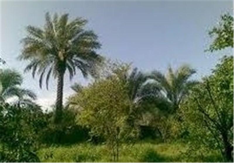 کاشت درختان بومی خوزستان جایگزین «کونوکارپوس» شود