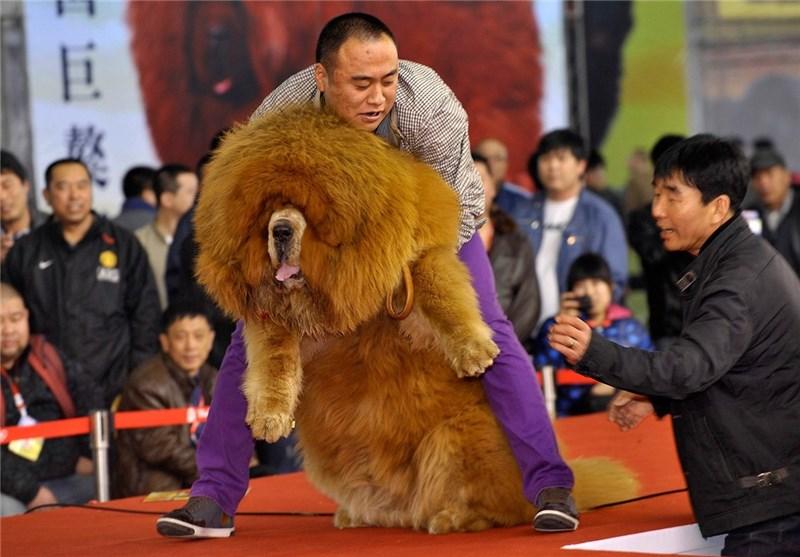 فروش سگ تبتی در ایران