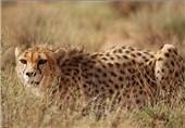 پناهگاه نایبندان بزرگترین زیستگاه یوزپلنگ آسیایی در ایران است