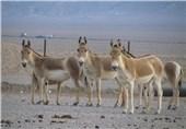 تولد گورخرهای ایرانی در پارک ملی کویر؛ امید برای احیای این گونه در خظر انقراض بیشتر میشود
