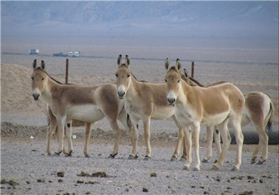 """تولد گورخرهای ایرانی در پارک ملی کویر؛ امید برای احیای این """"گونه در خطرِ انقراض"""" بیشتر میشود"""