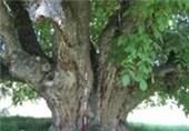 درخت کهنسال روستای فلار الموت غربی در فهرست آثار ملی طبیعی ثبت میشود