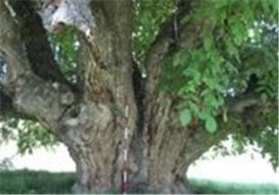 درخت کهنسال