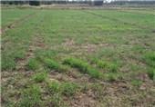 کشاورزی کم آب خواه گندم و جو در بافق