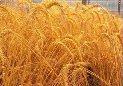 تا سال ۲۰۵۰ هیچ کشوری گندمی برای صادرات نخواهد داشت