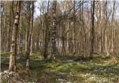 اراضی دولتی در گیلان برای زراعت چوب به تعاونیها واگذار میشود