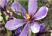 ادامه صادرات زعفران ایران به آمریکا با وجود تحریمها