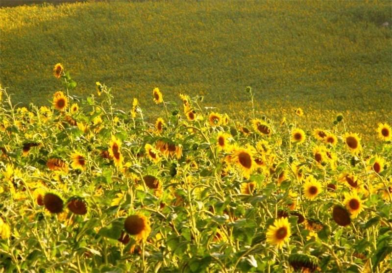 بیش از ۳۰۰ تن آفتابگردان به صورت تضمینی از کشاورزان مانه و سملقان خریداری شد
