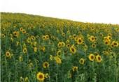 کشت دانههای روغنی در اردبیل توسعه مییابد