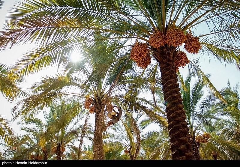 برداشت رطب در شهرستان اهرم بوشهر