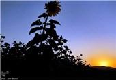 مزرعه آفتابگردان - اراک
