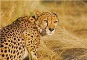 زیستگاه یوزپلنگ آسیایی سمنان در حال انقراض است