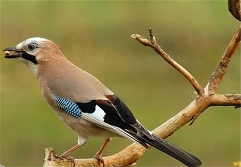 کدام پرنده اندمیک ایران در استان سمنان زندگی میکند؟