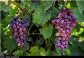معرفی روشهای بهینه استفاده از آب در جشنواره انگور ارومیه