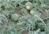 برداشت بیش از 13 هزار تن محصولات جالیزی از زمینهای کشاورزی تالش