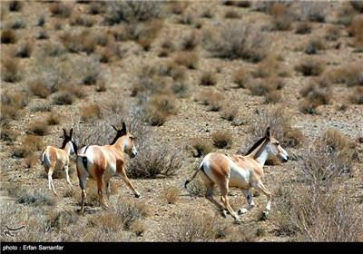 گور ایرانی در طول تاریخ مظهر شکار ایرانیان بوده و متاسفانه امروزه در خطر انقراض قرار دارد. این حیوان که فقط تعداد اندکی از آن باقی مانده است، بسیار قوی و گریز پا است و سرعتی در حدود 60 کیلومتر بر ساعت دارد. همچنین چشمانی بسیار تیز بین و میدان دیدی بسیار وسیع دارد.