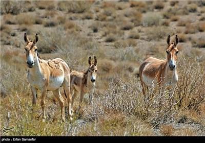 گور ایرانی، این گونه فقط در ایران زندگی میکند. در منطقه هایی از جمله توران سمنان ، بهرام گور استان فارس ، مهریز یزد و دشت ها و مناطق بیابانی زیستگاه این حیوان زیبا است.