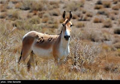 زمانی گور در همه دشت های ایران زندگی می کرد. اما به دلیل شکار غیرقانونی و بی رویه این گونه بسیار محدود شده است