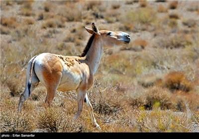 گور در ادبیات فارسی هم نقش زیادی داشته است. در شاهنامه داستان های زیادی درباره شکار گور به دست بهرام نقل شده است. مانند این بیت معروف : «بهرام که گور میگرفتی همه عمر دیدی که چگونه گور بهرام گرفت»