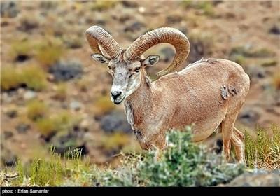 نامش قوچ لارستان است. این گونه ی کمیاب فقط در منطقه حفاظت شده هورمود لارستان فارس زندگی میکند. این حیوان زیبا را قوچ مینیاتوری نیز می نامند ، زیرا کوچکترین قوچ دنیاست .