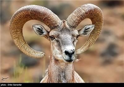این گونه، کمیاب ترین زیرگونه گوسفند وحشی در ایران است که متاسفانه در معرض خطر قرار دارد.