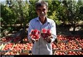 خراسان رضوی  فصل برداشت یاقوت سرخ آغاز شد؛ انار بجستان آماده حضور در بازار جهانی