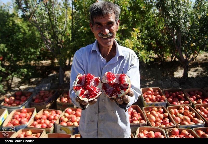خراسان رضوی| فصل برداشت یاقوت سرخ آغاز شد؛ انار بجستان آماده حضور در بازار جهانی
