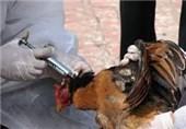 هیچ آنفولانزای پرندگانی در ورامین وجود ندارد