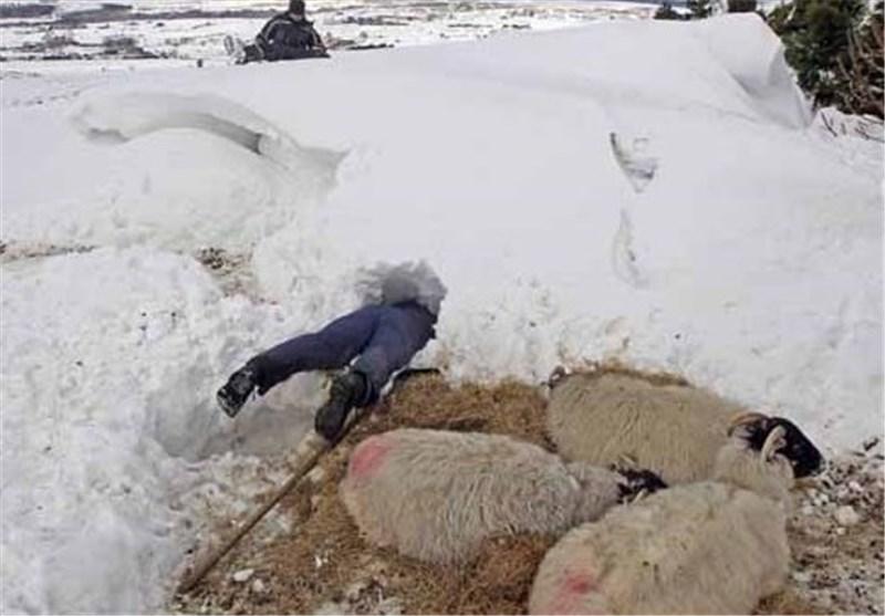 1500 دام گوسفندی توسط نیروهای امدادی اردبیل نجات یافتند