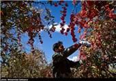 انتقال زرشک خراسان جنوبی به دیگر استانها خطری در کمین روستاهای مرزی