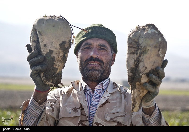 برداشت چغندر در شیروان - خراسان شمالی