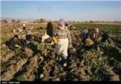 بدهی 24 میلیارد تومانی کارخانجات قند به چغندرکاران آذربایجانغربی/ امسال 27 هزار هکتار چغندر قند در استان کشت شد