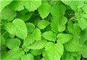 گیاه بادرنجبویه طب سنتی