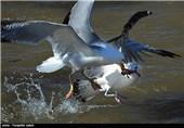 مهاجرت پرندگان از شمال اروپا و سیبری به تالابهای گیلان آغاز شد