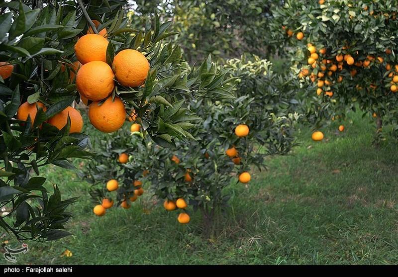 Orange Harvest in Iran's Northern City of Tonekabon