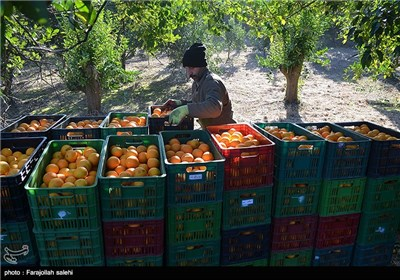 Orange Harvest in Iran's Northern City of Tonekabon