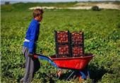 60 هزار تن گوجه فرنگی از کشاورزان بوشهری خریداری میشود