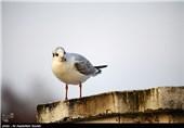 کاکائی های دریایی و پرندگان وحشی- لاهیجان