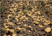 دفن 1700 تن سیب زمینی با کدام توجیه؟!