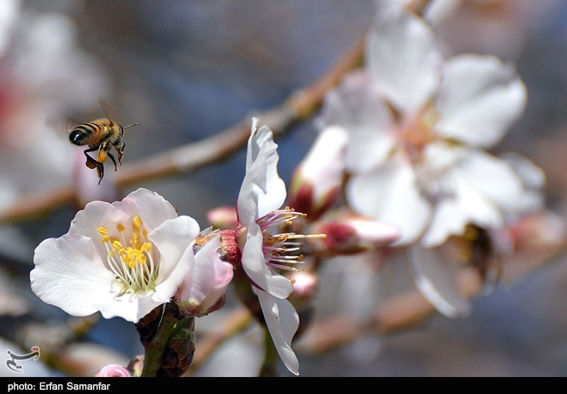 Winter buds come to Fars Province - IN PTHOTOS