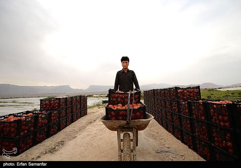 Harvesting tomato in Bushehr - IN PHOTOS