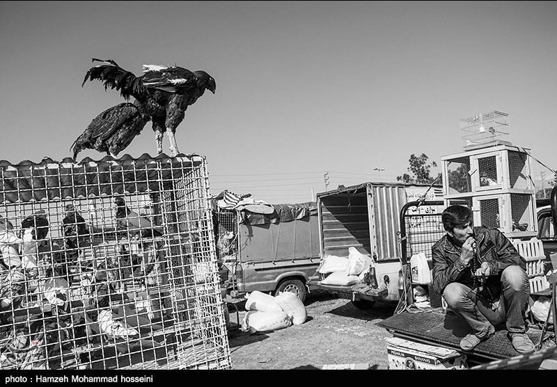 همدان|بازارچههای محلی فروش پرندگان؛ پاشنه آشیل شیوع آنفلوآنزای مرغی - اخبار تسنیم - Tasnim